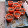 ヘチマ栽培中