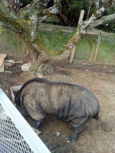 勝手に食べて豚にされた人