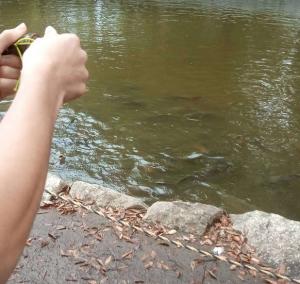 洞峰沼の鯉