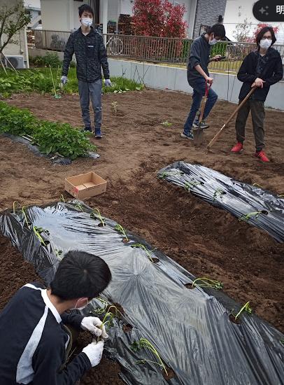 サツマイモ、品種はベニアズマを植え付け