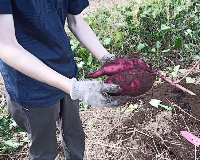 通信制高校の生徒が育てたサツマイモ