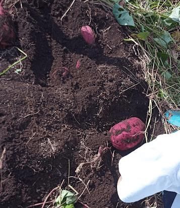 農園で育ったサツマイモがゴロゴロ出てきた様子