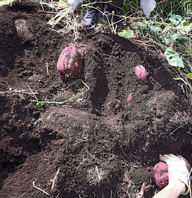 掘っても掘っても出てくるサツマイモ